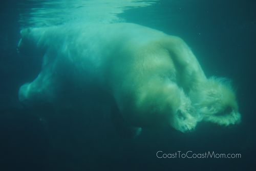 Gus The Polar Bear Swimming Underwater 2