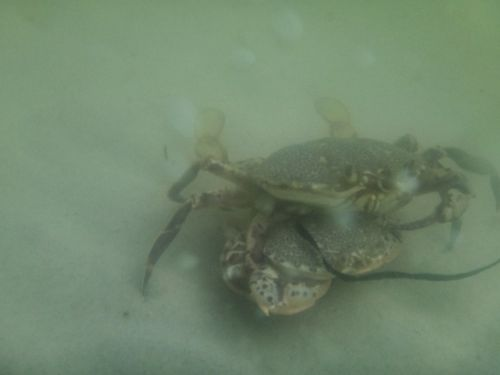 Crabs in Water