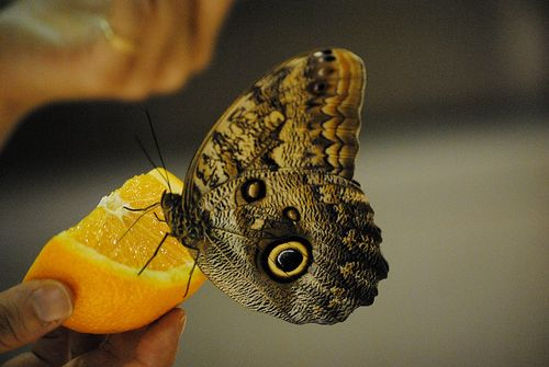 AMNH Butterfly eating orange