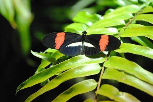 AMNH butterfly black and orange